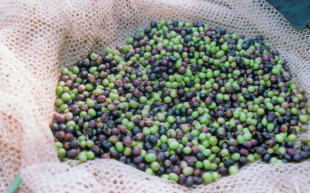 Abbiamo raccolto le olive